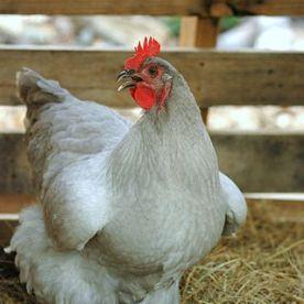 Orpington Chicken lavender